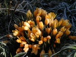 Crocus crysanthus
